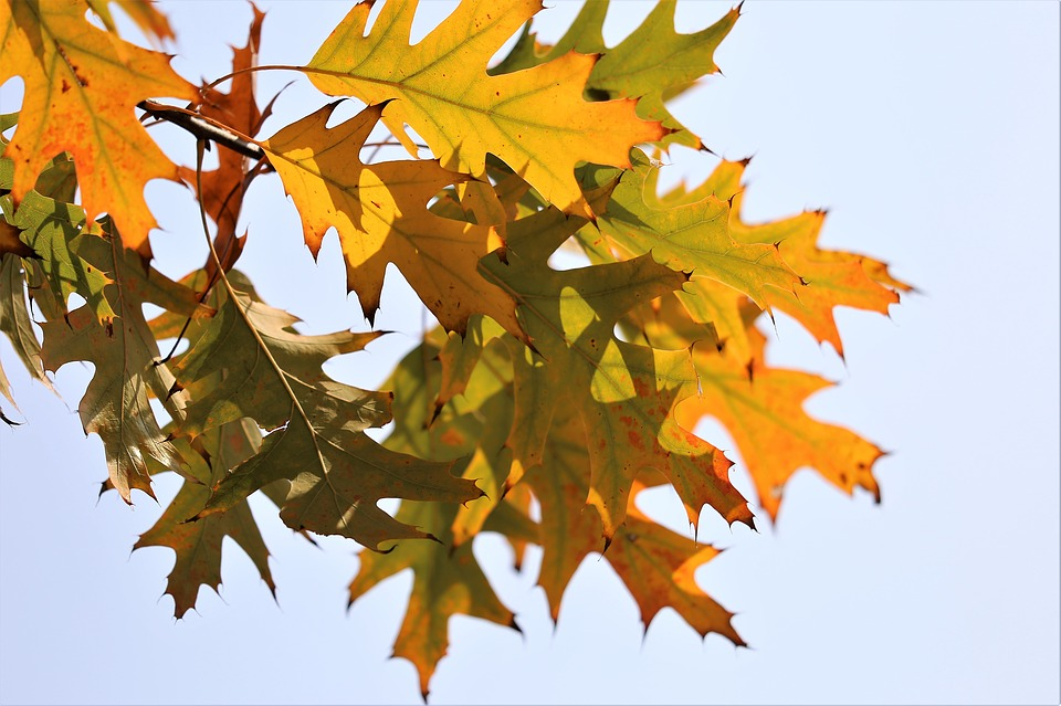 Oak, Quercus, Colorful Leafs, Branch, Transparent, Sky