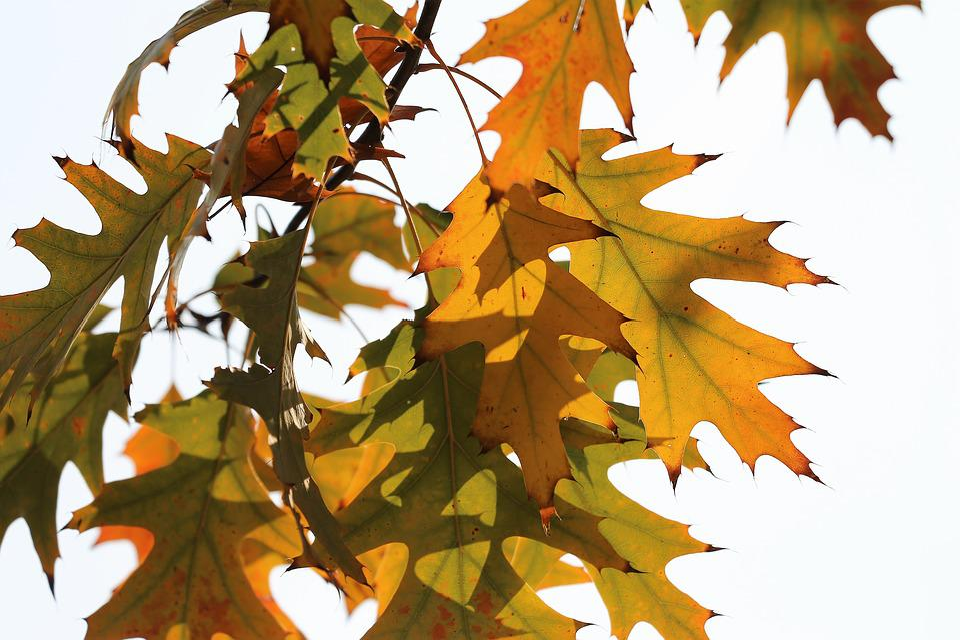 Oak, Quercus, Colorful Leafs, Branch, Transparent, Sky