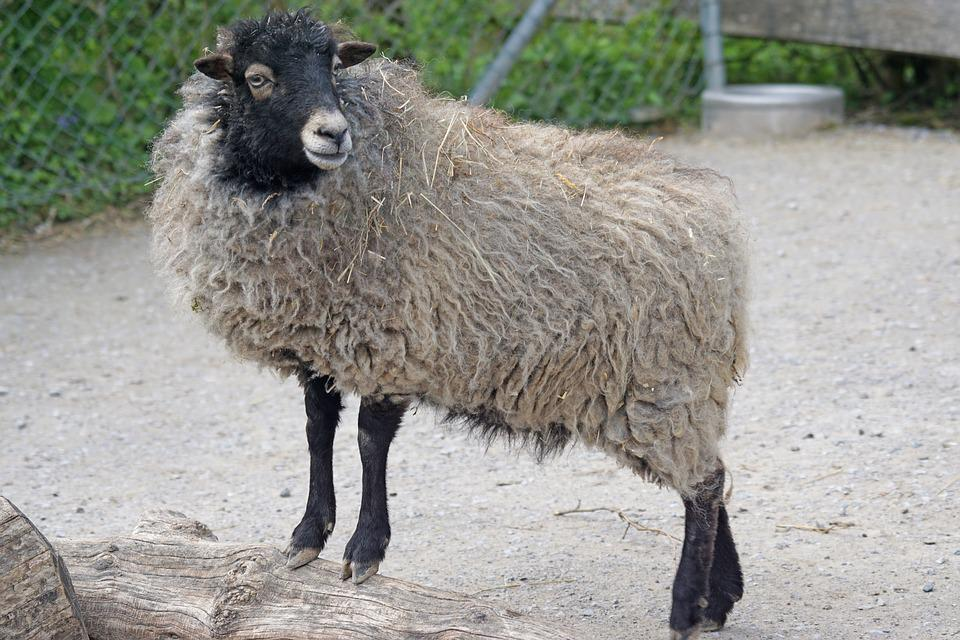 Quessantschaf, Sheep, Dwarf Sheep, Breton, Small