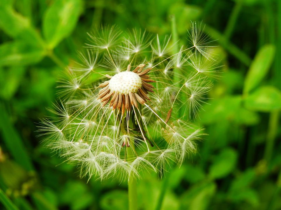Dandelion, Meadow, Nature, Plant, Village, Qvishxeti