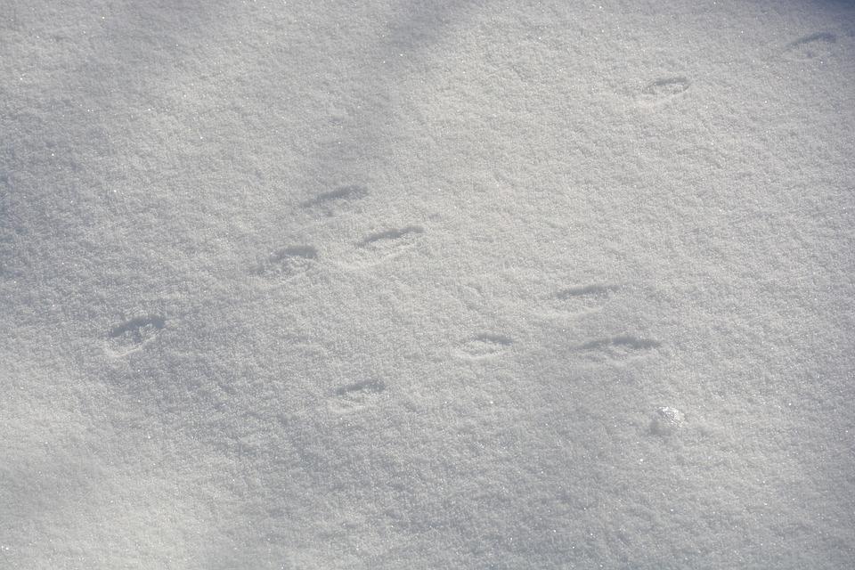 Rabbit, Bunny, Footprint, Track, Winter, Snow, Animal