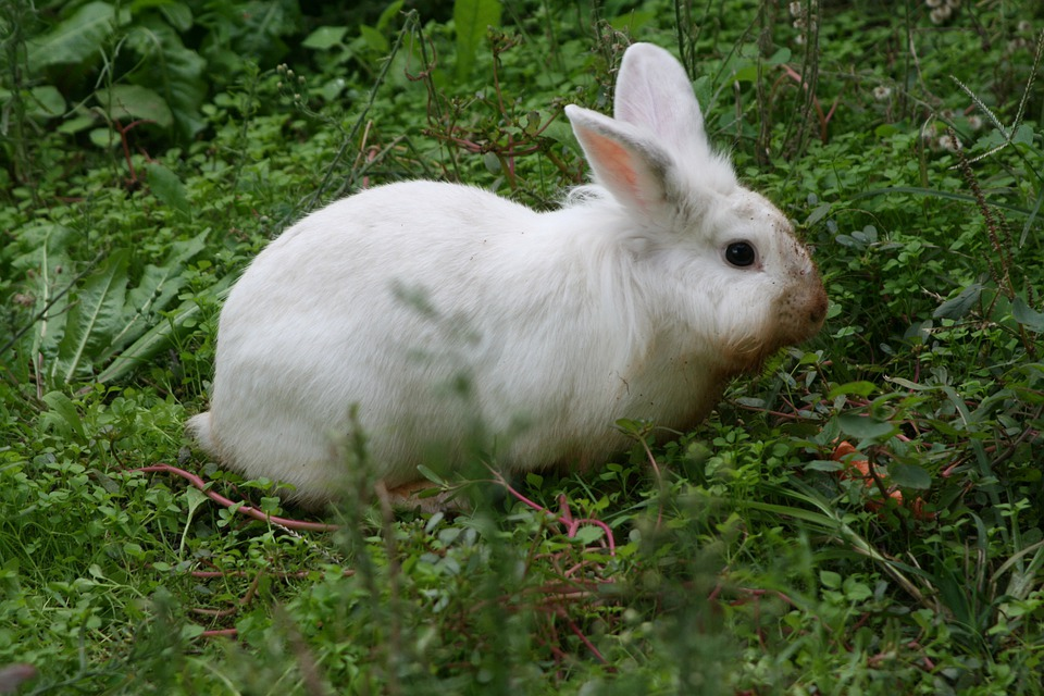 Rabbit, Bunny, Animal, Wildlife, Wild, Zoology, Mammal