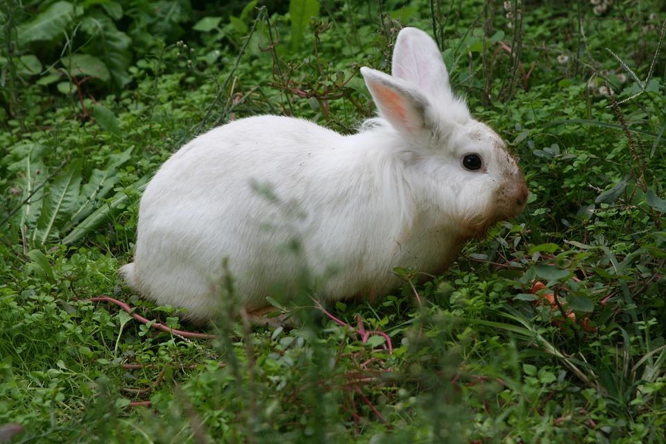 Rabbit, Bunny, Animal, Wildlife, Wild, Zoology, Mammal