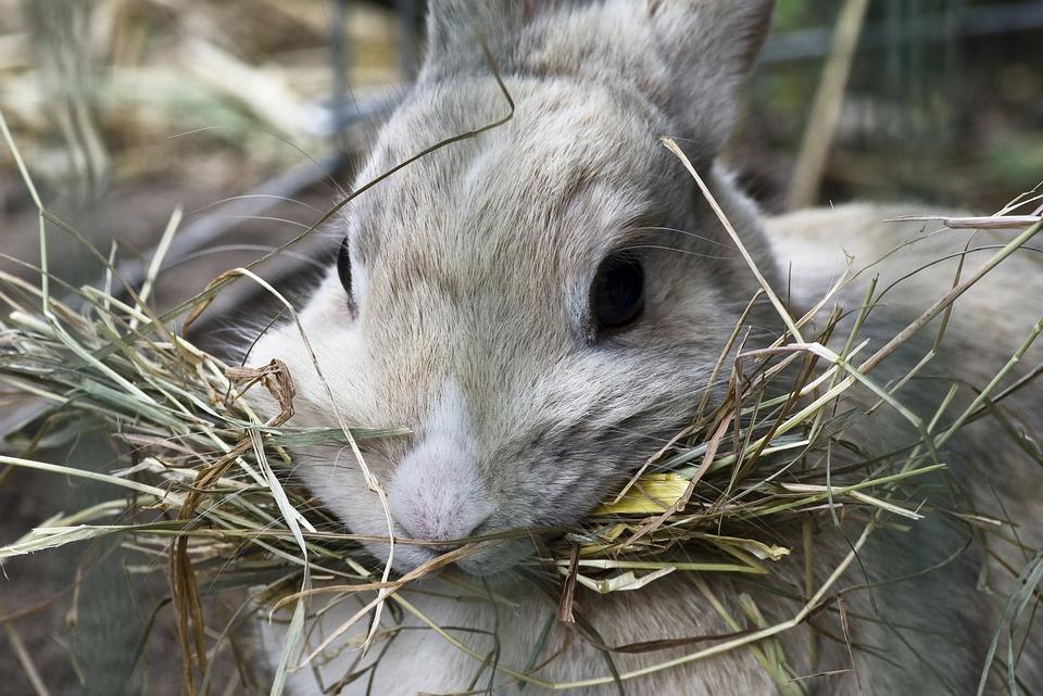 Rabbit, Grey Mottled, Hay, Close Up