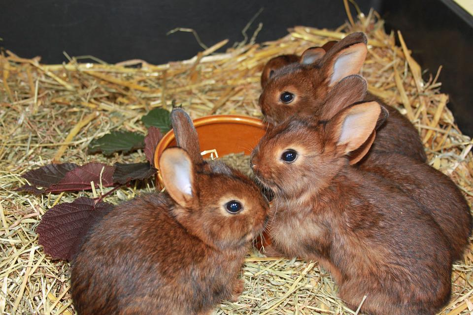 Rabbit, Deilenaar, Rabbit Family, Rabbit Breeding