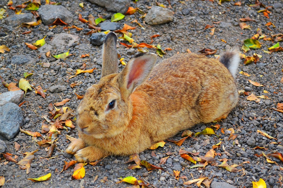 Rabbit, Animal, Nature, Red Skin