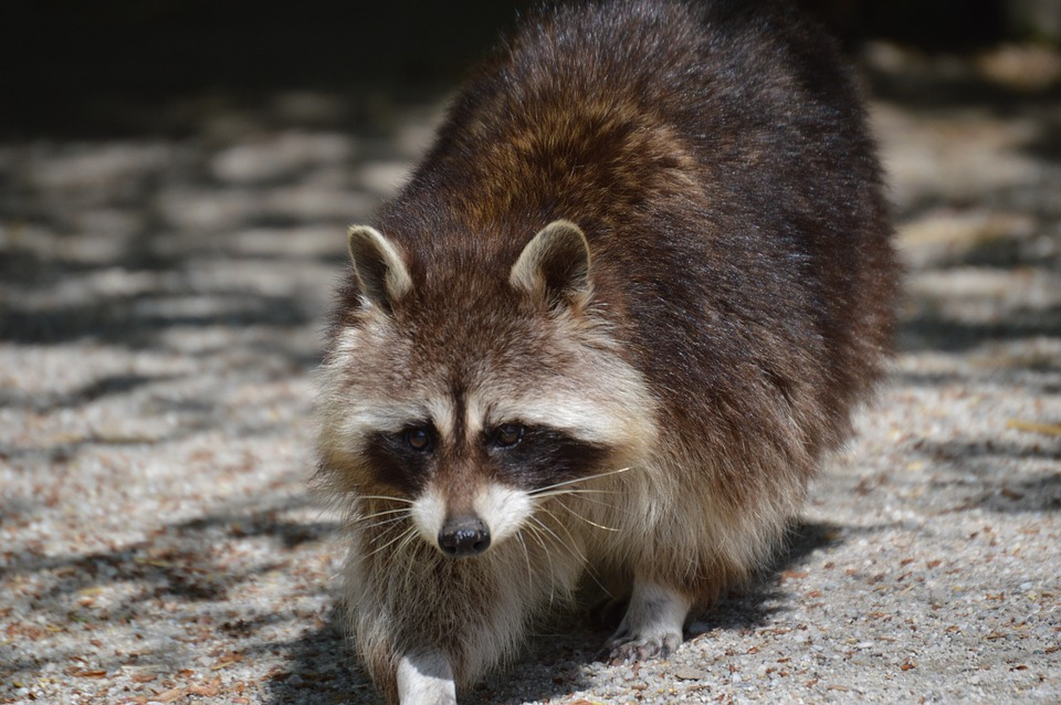 Raccoon, Fur, Animal, Furry, Animal World, Brown