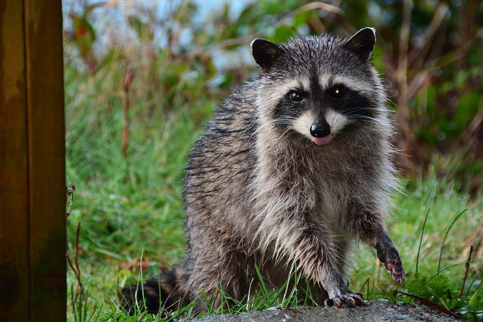 Mammal, Raccoon, Mask, Bandit, Fur, Adorable, Critter