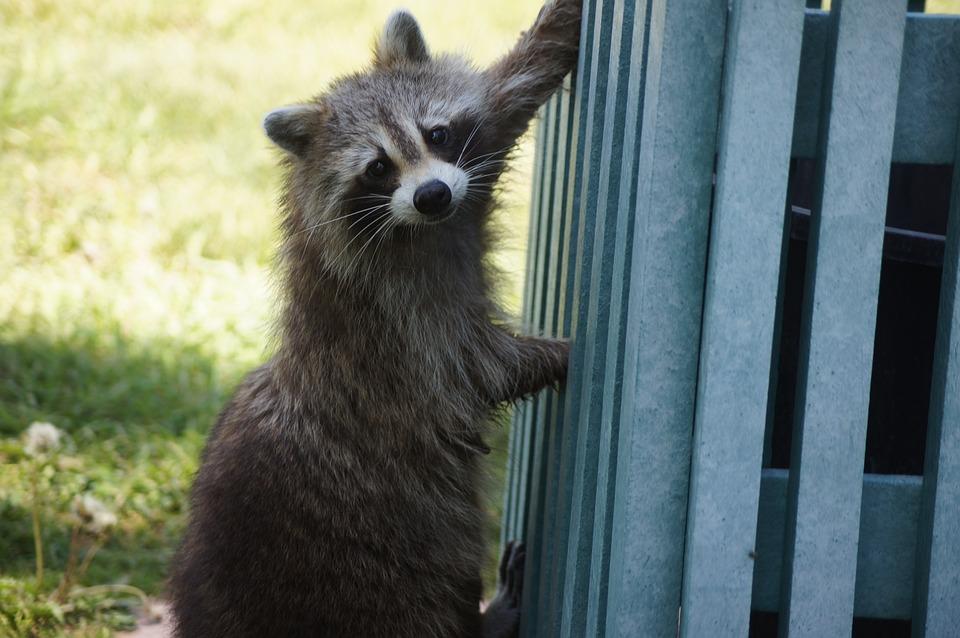 Raccoon, Animal, Wildlife