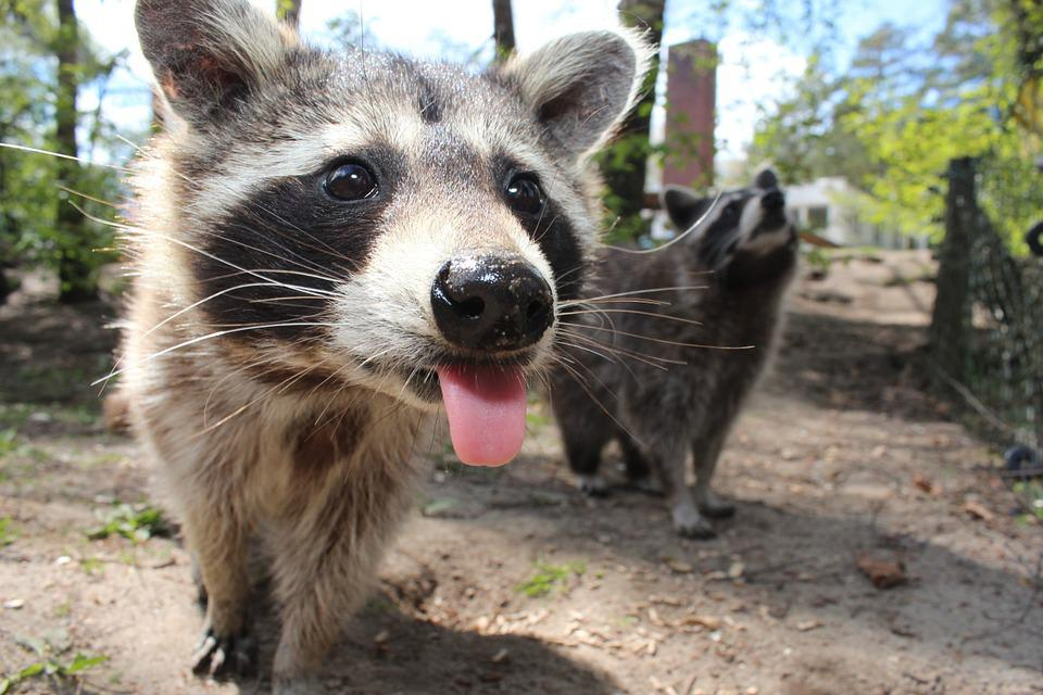 Raccoon, Animal, Cute, Cheeky, Wildlife Photography