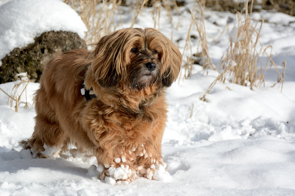 Dog, Animal, Winter, Snow, Race, Tibetan Terrier
