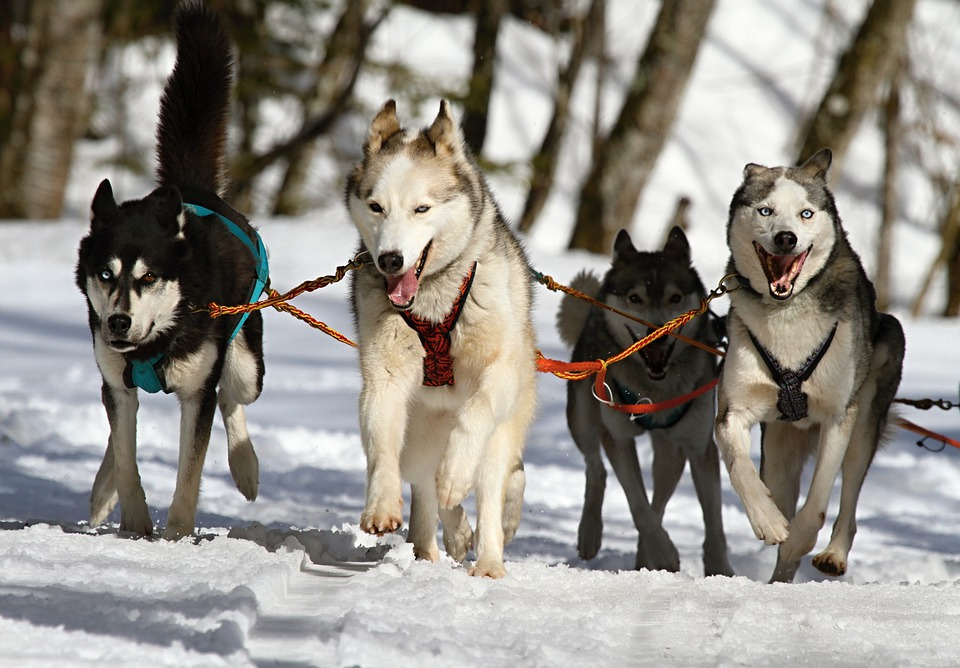 Huskies, Husky, Blue Eye, Dog, Snow, Race, Sled Dog
