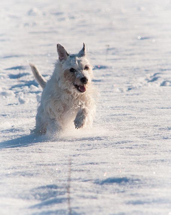 Terrier, Snow, Winter, Race, Dog, Animal, Pet, Cute