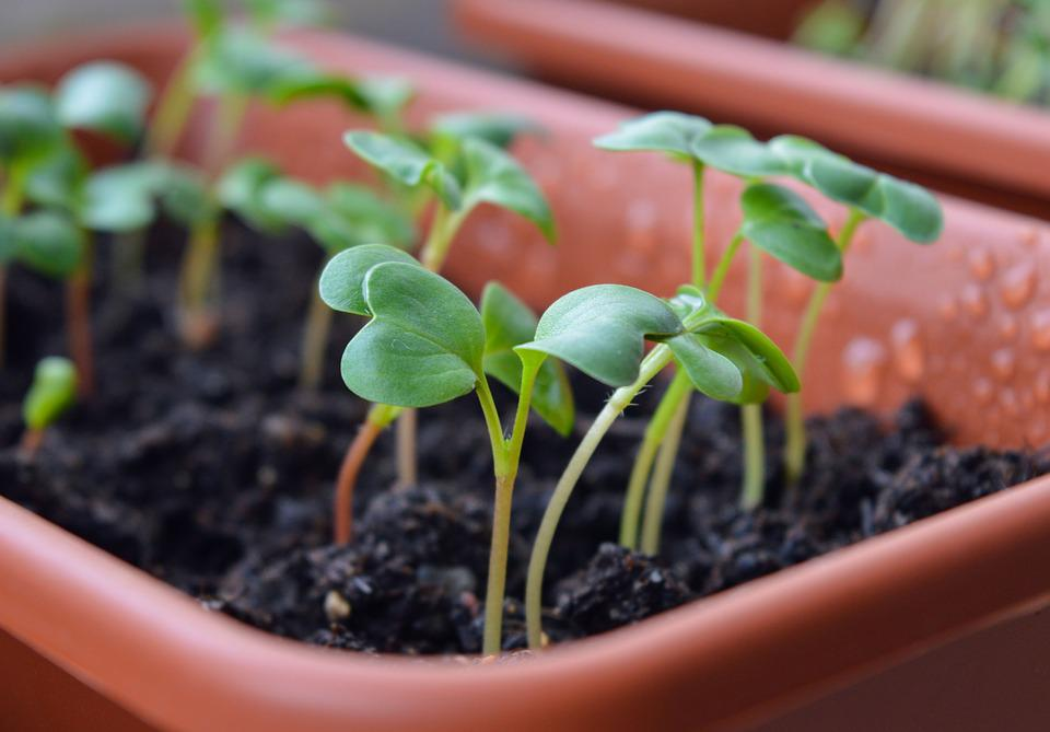 Radish Sprouts, Seedling, Seedlings, Why