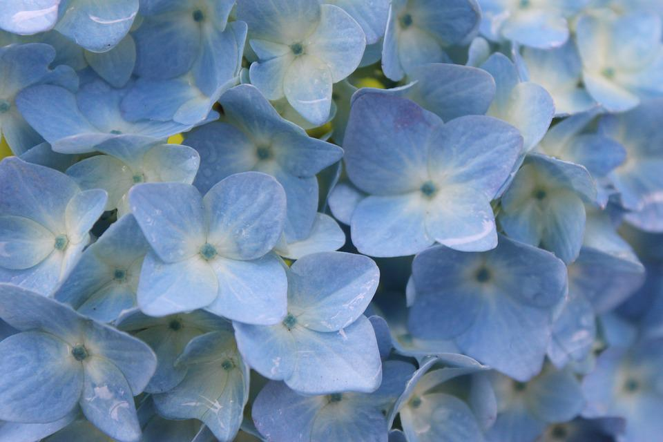 Blue, Hydrangea, Rain