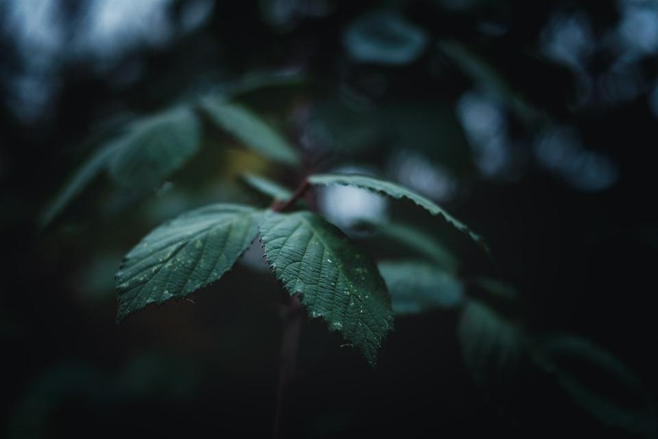 Leaves, Foliage, Drops, Dew, Rain, Plants, Bush, Garden