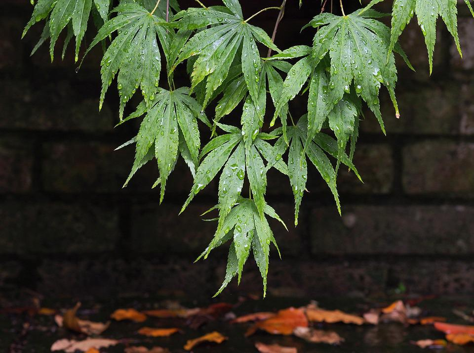 Acer, Maple, Leaves, Leaf, Wet, Rain, Drip, Dripping