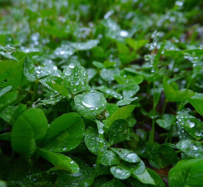 Rain, Trefoil, Clover, Drop, Drop Of Water, Shining