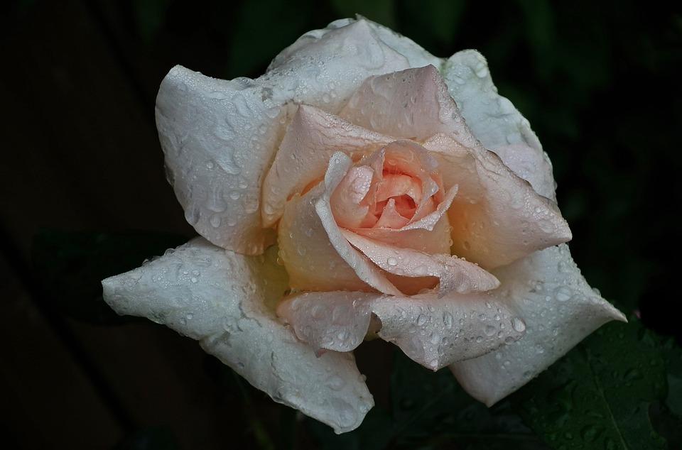 Flower, Rose, Plant, Petal, Nature, Drops, Rain, Summer