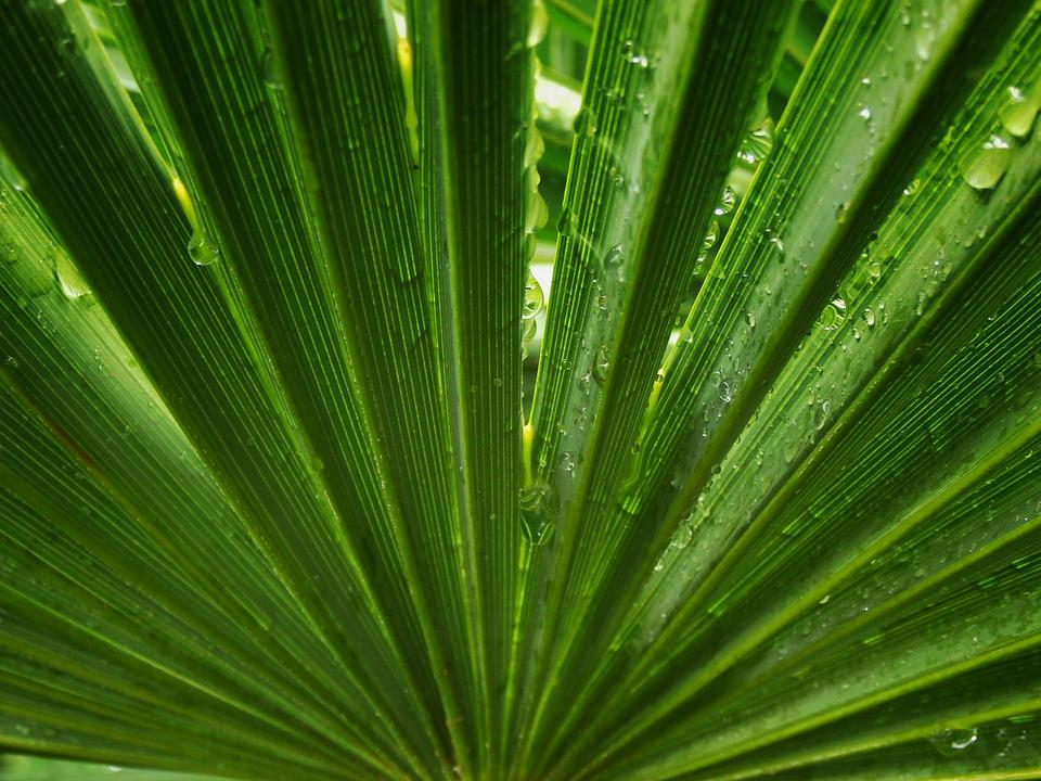 Palm Tree, Leaf, Symmetry, Palms, Leaves, Rain, Drops