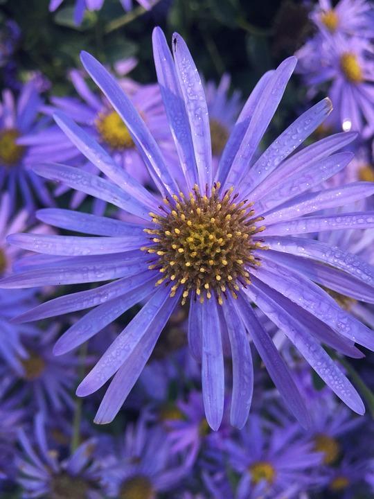 Flower, Purple, Rain Drops, Aster