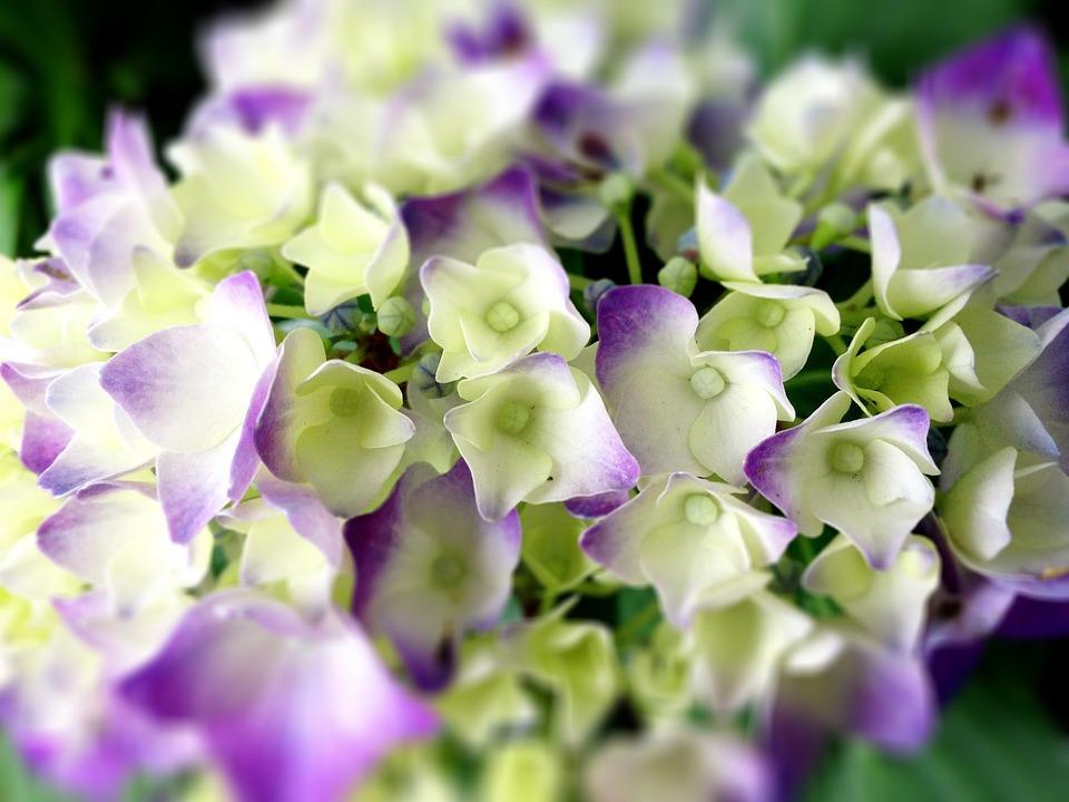 Hydrangea, Flowers, Rainy Season, Close Up, Rain, White