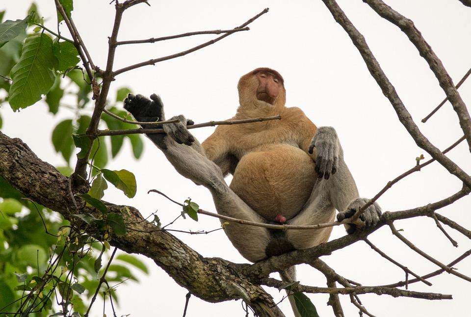 Proboscis Monkey, Male, Borneo, Rain Forest, Alpha Male