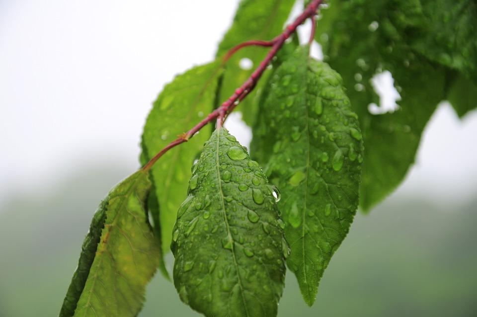 Leaves, Rain, Tree, Green, Water Droplets, Spring, Wet