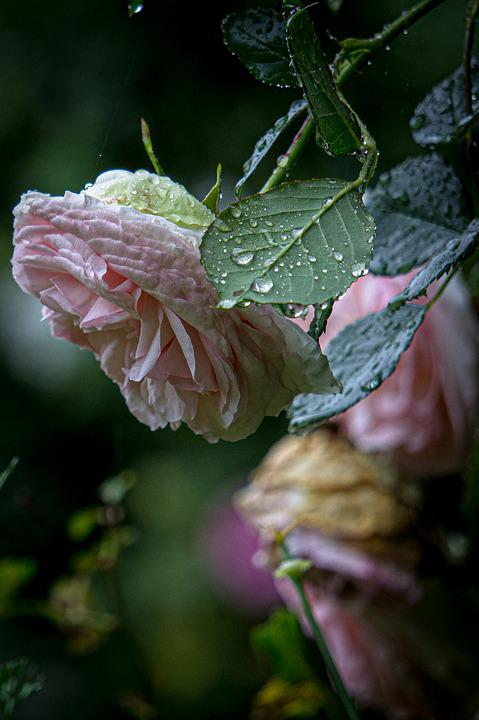 Pink, Roses, Rain, Flowers, Spring, Flower, Nature