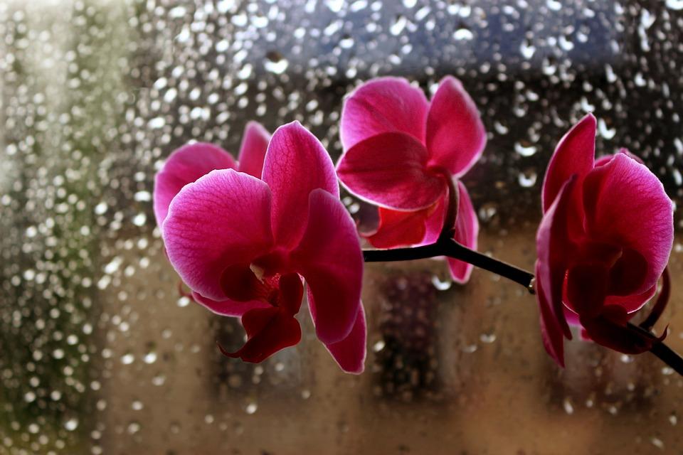 Flowers, Orchid, Rain, Drops, Pink, Window