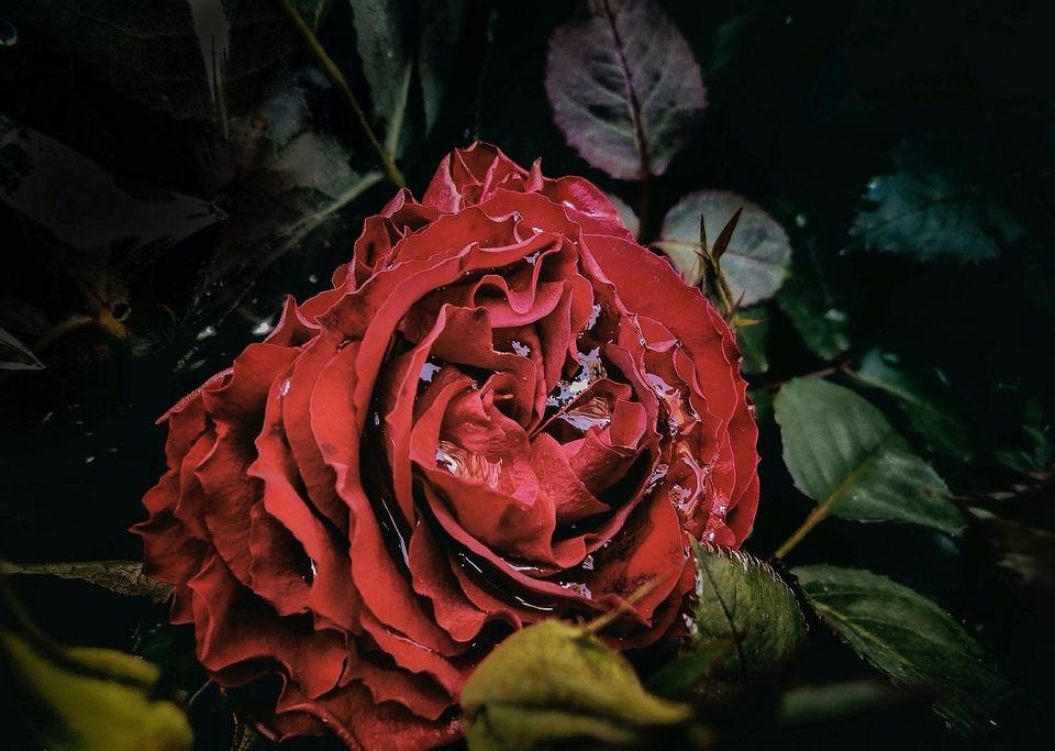 Rosa, Red, Rain, Water