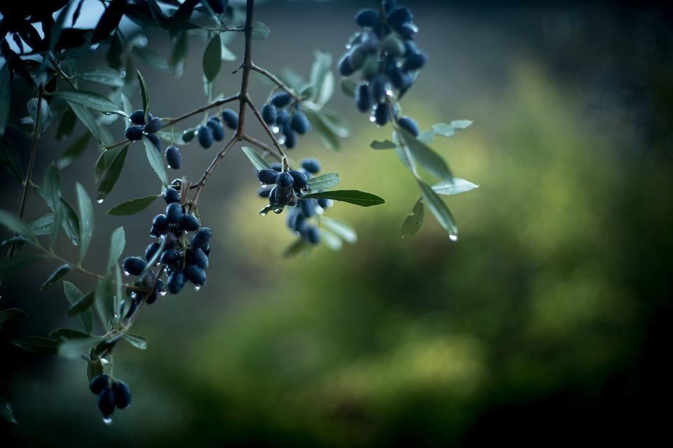 Olives, Rain, Green, Tree, Spain, Nature, Leaves