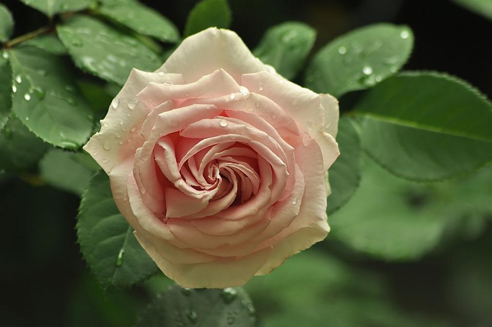 Rose, Tea, Tender, In The Dew, Drops, Rain, Garden