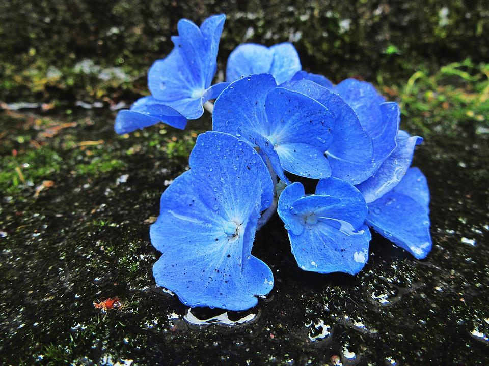 Hydrangea, Blue, Flowers, Garden Plant, Rain, Wet