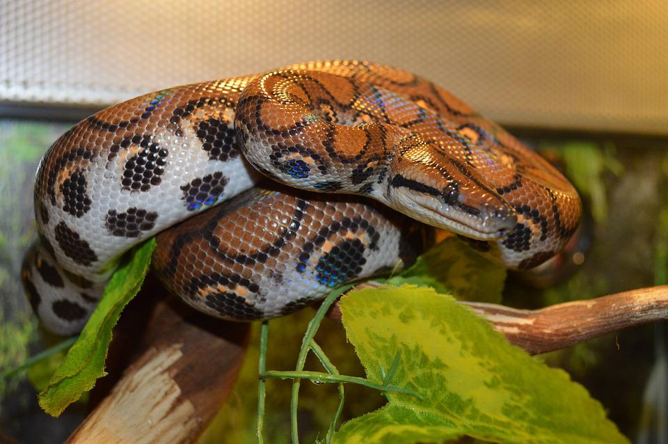 Boa Constrictor, Snake, Reptile, Rainbow Boa