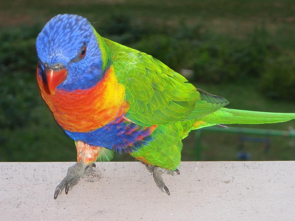 Rainbow Lorikeet, Birds, Ornithology, Sydney, Australia