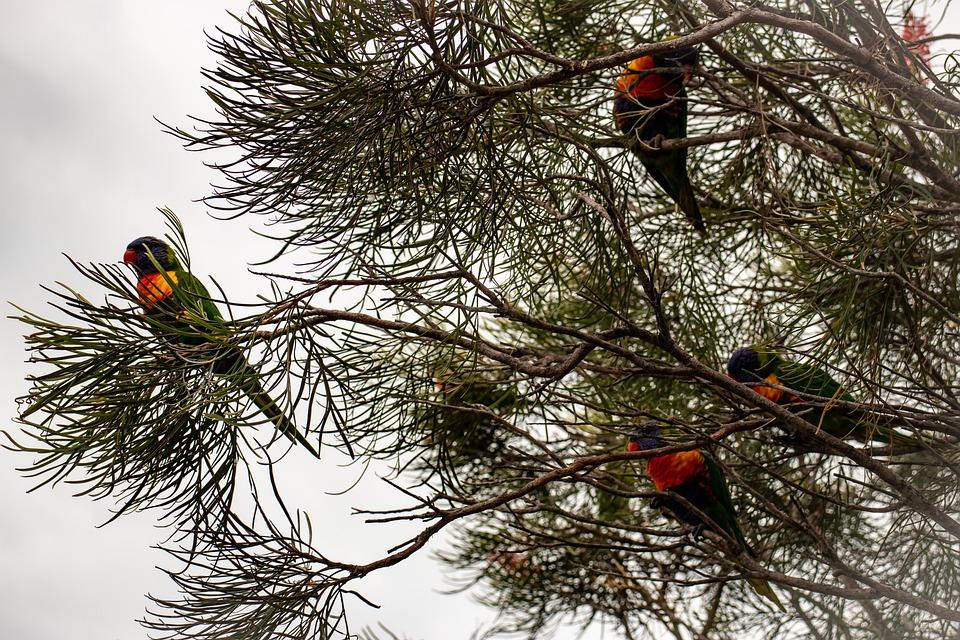 Rainbow Lorikeets, Rainbow Lory, Lorikeet, Bird