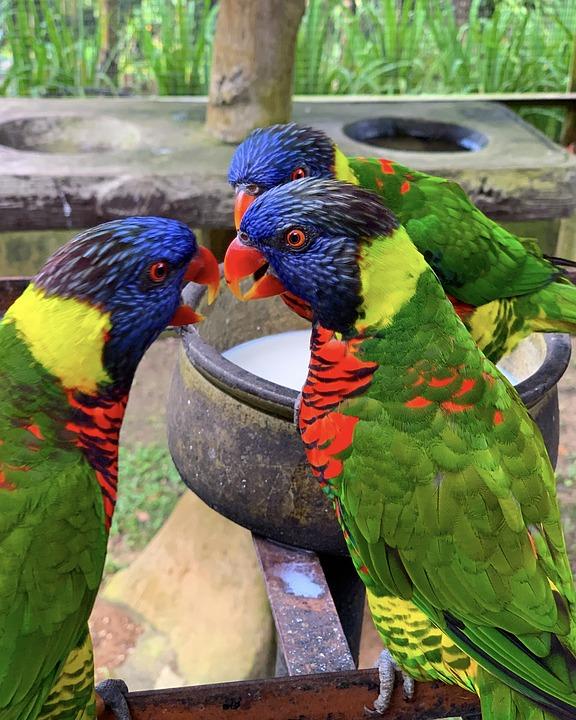 Rainbow Lorikeet, Bird, Colourful, Parrot, Rainbow