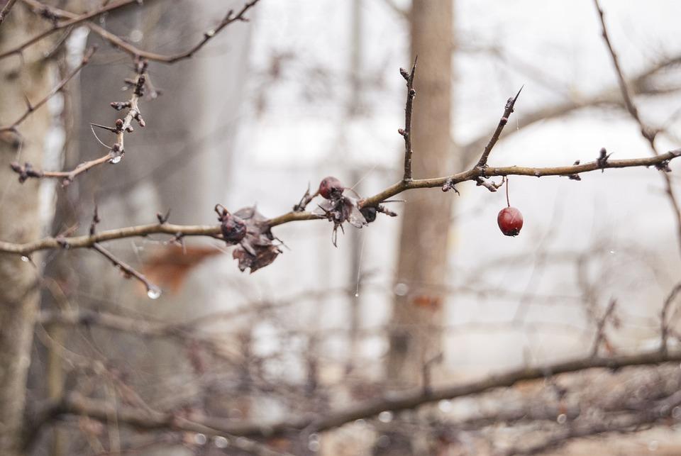 Wet, Cold, Gooseberry, Autumn, Rain, Raindrop, Branches