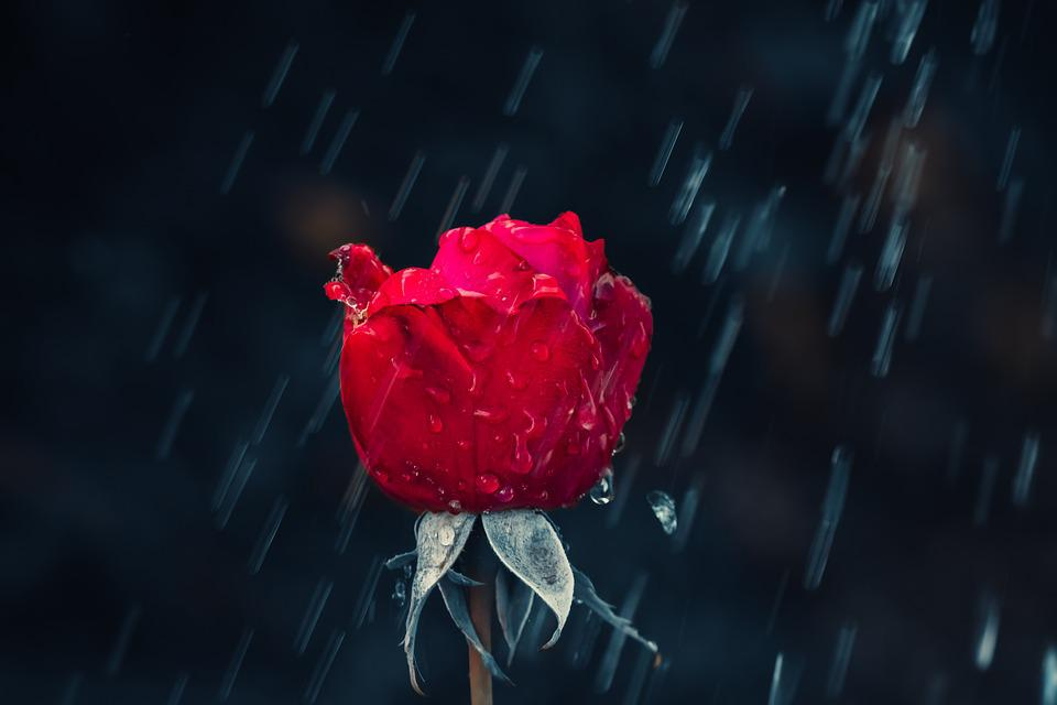 Rose, Red, Drip, Rain, Leaf, Wet, Raindrop, Nature