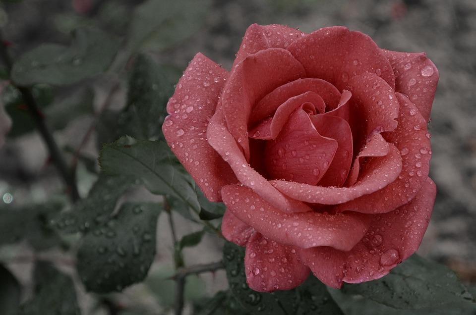 Flower, Rose, Rain, Raindrop, Blooms At, Love, Wet, Red