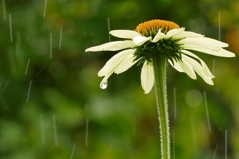 Rain, Flower, Nature, Raindrop, Garden, Blossom, Bloom