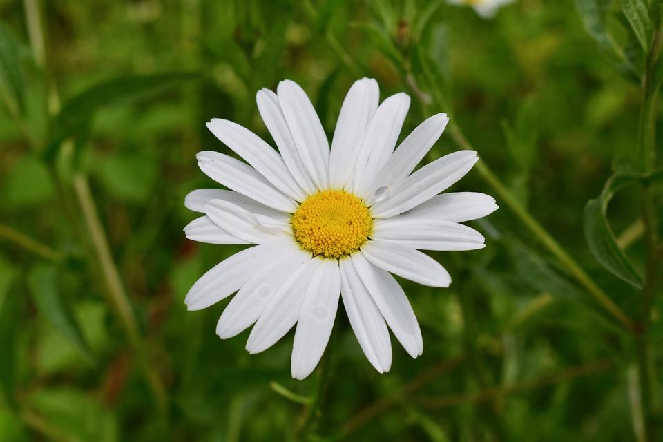 Daisy, Summer, White, Macro, Bloom, Raindrop, Fresh