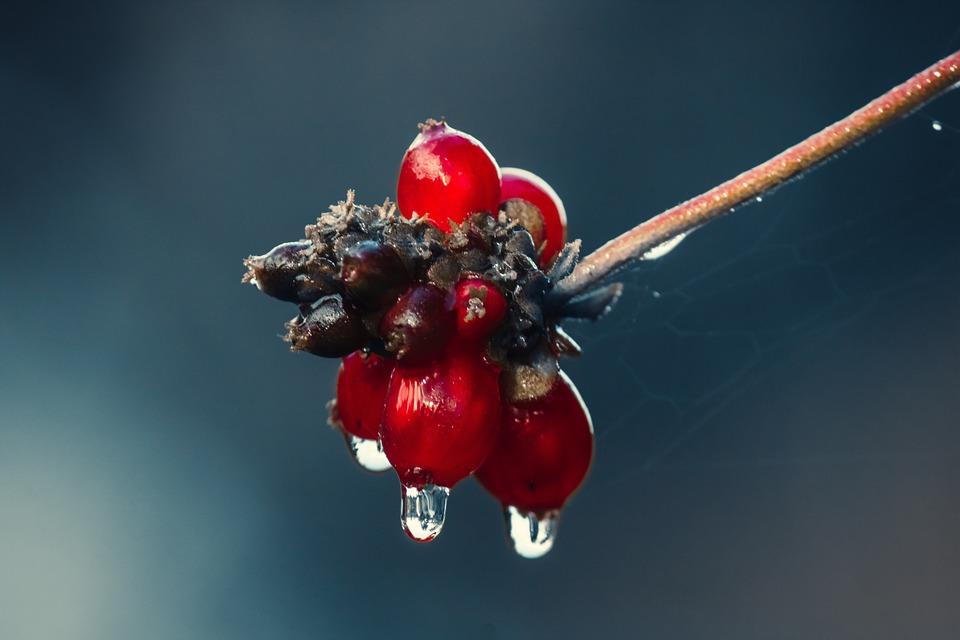 Holly, Drip, Rain, Leaf, Wet, Raindrop, Nature