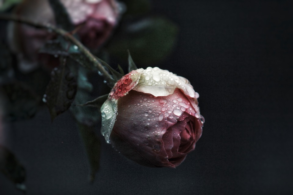 Rose, Drip, Raindrop, Drop Of Water, Flower, Plant