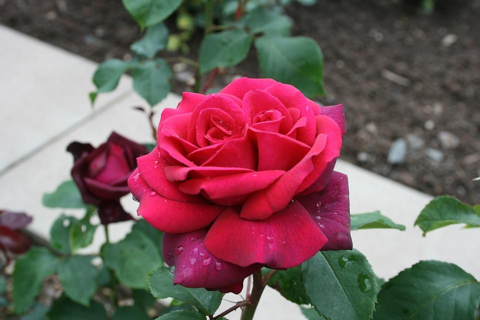 Roses, Velvety, Twin, Twin Roses, Raindrop, Velvet Soft