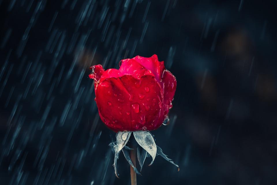 Rose, Red, Drip, Rain, Leaf, Wet, Raindrop, Nature