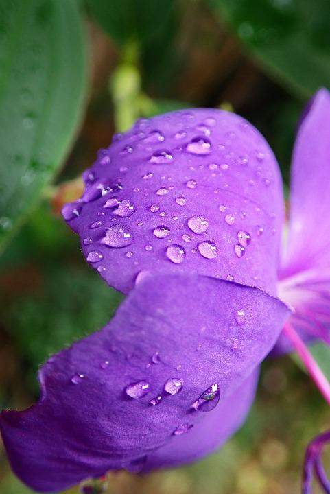 Flower, Purple, Petals, Raindrops, Tree, Garden, Nature