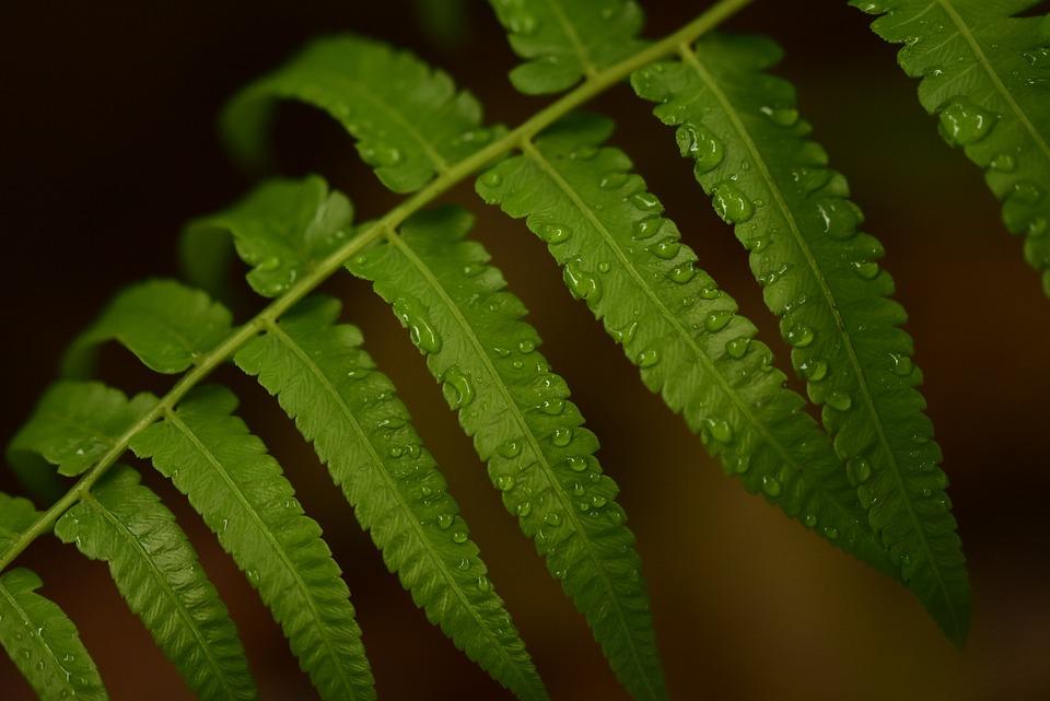 Fern, Leaf, Raindrops, Green, Growth, Fresh, Wet