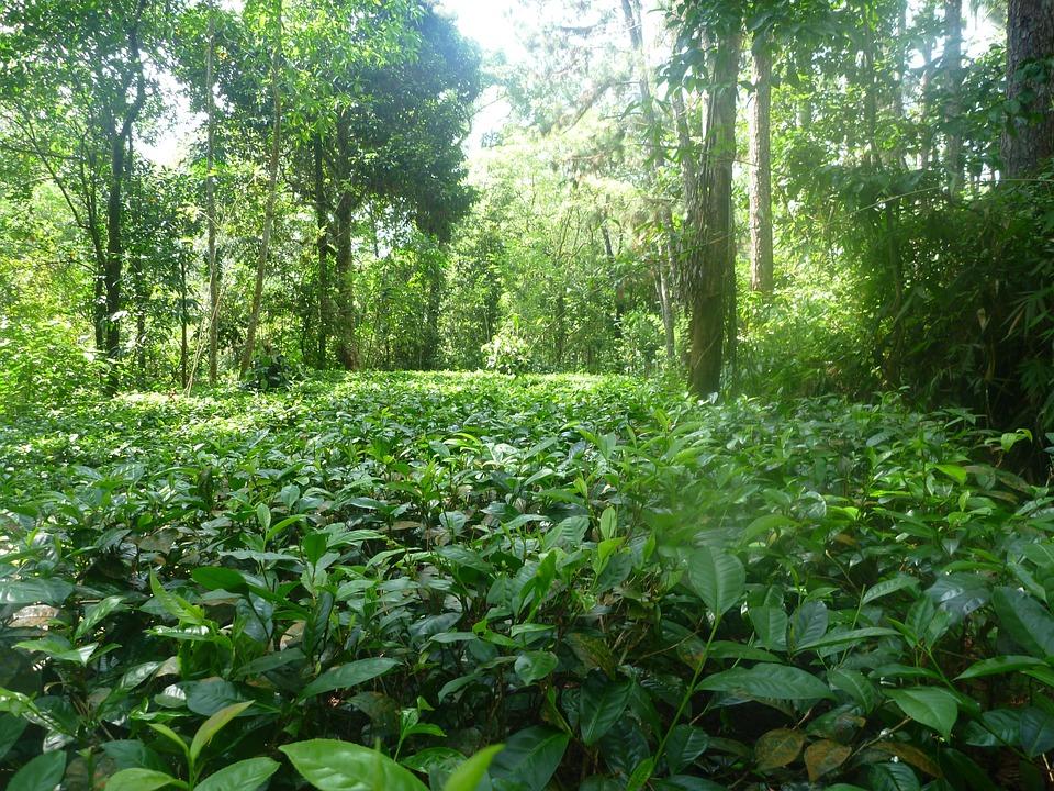 Jungle, Nature, Tea, Ceylon, Rainforest
